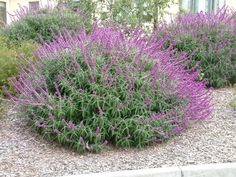 Mexican bush sage, Velvet Sage - Salvia leucantha The Mexican Sage is a bushy shrub that grows 3'-4' tall and wide. It has hairy white stems, gray green leaves and velvet-like purple flower spikes that bloom summer through fall. This shrub tolerates sun, light shade, little water, and is hardy to 15 degrees F. The Mexican Sage is drought tolerant and attracts hummingbirds. +ladwp