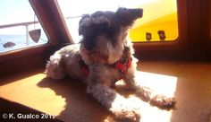 "This is my darling Sammy Boo on our boat about 4 years ago.  He crossed the Rainbow Bridge on 05/16/12.  He was my first pet and I never knew how much I could love an animal.  He showed me how.  I do have another wonderful doggie, but my ""Baby Boo"" will always hold a special place in my heart.  Sometimes I still feel him near me.  He'll always be my Sunshine Boy.  I love you, Sammy!  ~ May 17, 2000 - May 16, 2012~"