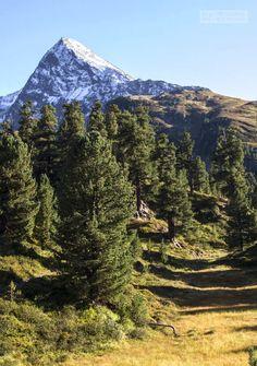 stone pine forest in Obergurgl, Ötztal - Tirol, Austria