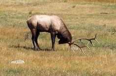Bull Elk, Estes Park, CO  Sept. '08