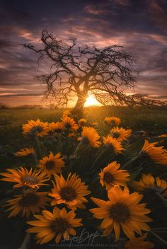 ~~Broken Arms | Balsamroot, lone tree and sunrise on the Columbia River Gorge, Pacific Northwest, Oregon by Ryan Dyar~~