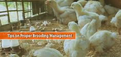 Tips on Proper Brooding Management Take Care Of Yourself, Management, Chicken, Tips, Cubs, Counseling