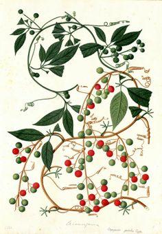 Trianosperma. Proyecto de digitalización de los dibujos de la Real Expedición Botánica del Nuevo Reino de Granada (1783-1816), dirigida por José Celestino Mutis: www.rjb.csic.es/icones/mutis. Real Jardín Botánico-CSIC.