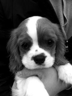 cute puppy - makes me think of Annie Cavalier King Charles, King Charles Spaniel, Animal Fashion, Kids Fashion, Cute Kids, Cat Scratching, Corgi, I Love Dogs, Cute Animals