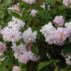 """本日の薔薇""""  ^^  ポールズ ヒマラヤン ムスク [PaulsHimalayanMusk] イギリス Paul作 1916年   小輪の花が房になって、枝いっぱいに咲くツルバラです。咲きはじめはピンク色、咲くとパールピンクの淡い色彩へと変わります。耐寒、耐暑性に優れ、庭植えでは、水や肥料など最小限にしても、よく育ちます。  花径:4cm 樹高:2.5~4.0m 一季咲き その他:香⇒ほのかな香り  ※京阪園芸ガーデナーズのつるバラはこちらから→ http://www.keihan-engei-gardeners.com/fs/keihangn/c/climbing"""