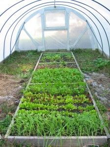 Plants Insulated by Greenhouse Covering Material- this is a garden in Feb. in zone 5.