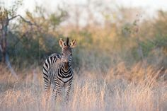 A young Zebra in the last shimmers of afternoon light. Photograph by Mike Sutherland.