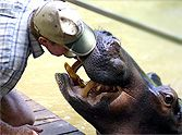 Couple Has a Special Bond With an Unusual Jungle Creature... a Hippo!