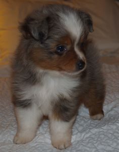 my little baby :)  Mini Australian Shepherd #puppy