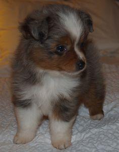 my little baby :)  Mini Australian Shepherd #puppy