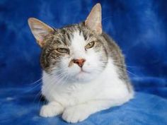 Frosty is an adoptable Domestic Short Hair Cat in Boulder, CO. Frosty is a sweet older guy, looking for a forever home where he can be your 'sidekick'! Frosty has a condition commonly known as dry eye...