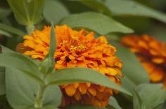 click here http://earth66.com/botanical/orange-zinnia-2/
