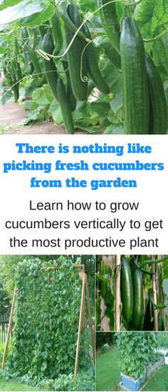 A single cucumber plant can spread out over 12 to 20 square feet when grown in traditional rows or hills. But one way to make better use of space and maximize yields is to grow cucumbers vertically – that is, to let the vines expand upward instead of outward, by supporting them on a raised …