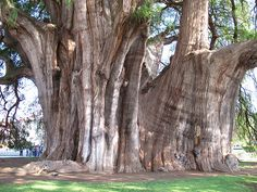 Shhhhhh!!  The locations of the world's tallest and oldest trees are top secret