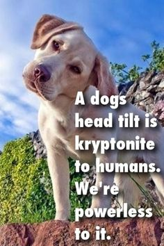 A DOGS HEAD TILT IS KRYPTONITE TO HUMANS.  WE'RE POWERLESS TO IT.