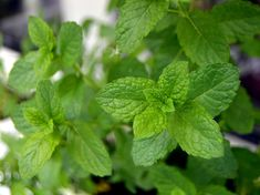 Growing Vegetables vegetables that grow in shade -- closeup of mint - If you gave up on growing food because your garden is shady, you'll be pleased to know that there are more than 40 vegetables that grow in shade! Herbs, Plants, Herb Garden, Magical Herbs, Container Gardening, Growing Mint, Planter Design, Gardening Tips, Home Vegetable Garden