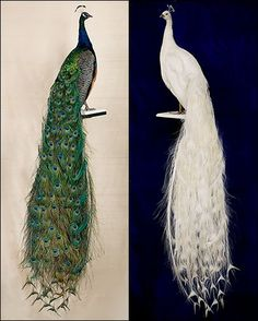 Albino Peacock Feather love the albino peacocks. beautiful albino peacock The Majestic White Peacock White Albino Peacock albino peacock fe. Peacock Room Decor, Peacock Wall Art, Peacock Painting, Peacock Theme, Taxidermy Decor, Faux Taxidermy, Taxidermy Jewelry, Taxidermy Display, Albino Peacock
