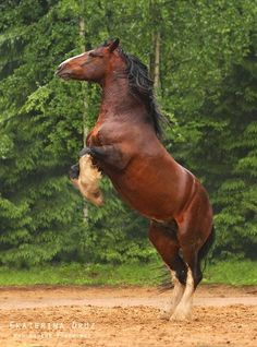 percheron x vladimir heavy draft - Google Search