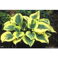 hosta Liberty Sagae sport yellow thick mail order plants home and garden Hosta Plants, Shade Plants, Garden Plants, Hosta Care, Hosta Varieties, Sempervivum, Landscape Borders, All Nature, Landscaping With Rocks