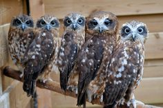 A parliament of owls. Owls are typically solitary. Cute!