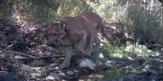 Since 2002, 17 mountain lions have been killed trying to cross busy freeways in California! #mountainlion