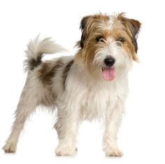 Google Image Result for http://www.justdogbreeds.com/images/breeds/jack-russell-terrier-rough.jpg