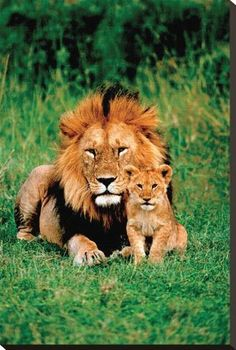 Lion Pictures, Animal Pictures, Art Pictures, Beautiful Cats, Animals Beautiful, Beautiful Family, Cute Baby Animals, Animals And Pets, Wild Animals