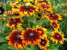 Rudbeckia hirta 'Autumn Colors' (Black-eyed Susan, Gloriosa Daisy)