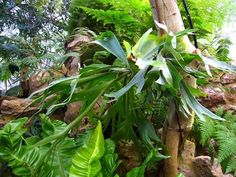 How to Care for Stag Horn Ferns. Also look for how to plant in hanging basket on that same site.