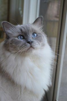 -Ragdoll Cat , looks just like my cotton