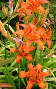 Orange day lilies - these things grow around here (Ohio) likes weeds, but I… Orange Flowers, Love Flowers, My Flower, Flower Power, Beautiful Flowers, Summer Flowers, Flowers Perennials, Planting Flowers, Day Lilies