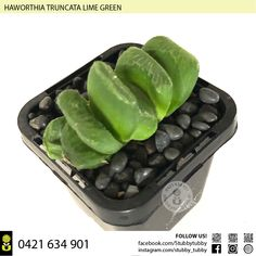 Quality succulents, cacti and houseplants for sale - Adelaide, SA, Australia Succulents For Sale, Houseplants, Lime, Canning, Green, Limes, Indoor House Plants, Home Canning, House Plants