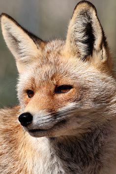 ☀Spanish Red Fox, Vulpes vulpes by Ian Macfadyen