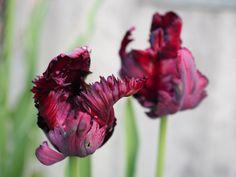 Tulipanens dag — en fest i farger, og løfte om vår Om, Cabbage, Vegetables, Flowers, Plants, Veggies, Florals, Vegetable Recipes, Cabbages