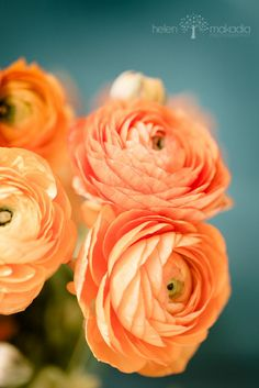 Three Peach Ranunculus  Fine Art Photograph   Home Decor, Blues and Peaches, Greens