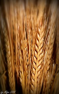 Wheat...idea for part of my next tattoo