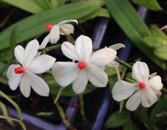 Aerangis luteoalba var. rhodosticta - Flickr - Photo Sharing!
