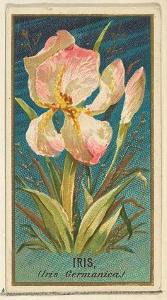 Iris (Iris Germanica), from the Flowers series for Old Judge Cigarettes