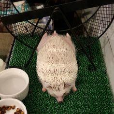 Dang I fell off again Pygmy Hedgehog, Cute Hedgehog, Cute Animal Memes, Cute Funny Animals, Super Cute Animals, Cute Little Animals, Baby Animals Pictures, Animals And Pets, African Hedgehog