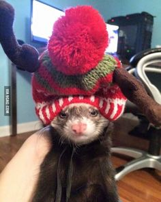 The ferret is less than thrilled with his new festive hat