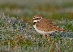 frosty-morning-little-ringed-plover by JACK SNIPE WILDLIFE PHOTOGRAPHY ZENFOLIO.COM, via Flickr