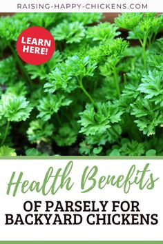 Did you know there are many health benefits of parsley for backyard chickens? Take a look at what the benefits of parsley for your chickens are, which type of parsley research shows is most effective, how to grow it in your own backyard (it's so easy!) and how to feed it to chickens. #backyardchickens Raising Meat Chickens, Raising Backyard Chickens, Summer Chicken, Chicken Garden, Parsley Plant, Animal Treatment, Laying Hens, Chicken Treats, Chicken Runs