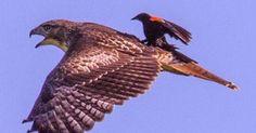 Pássaro é flagrado pegando 'carona' nas costas de ave de rapina nos EUA