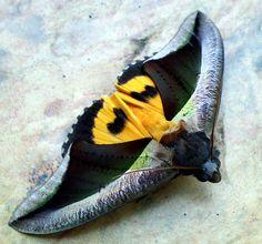 Colourful Moth by ahua_101, via Flickr