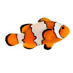 Ora Picasso Percula Clownfish Pair Amphiprion Percula