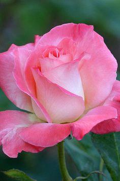 Pink Awakening By Cindy Mcdaniel