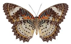 Cethosia cyane - Underside  Leopard Lacewing Butterfly