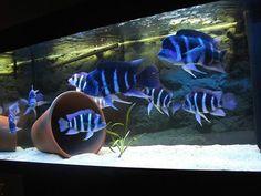 Psyphotilapia Frontosa tank Tropical Freshwater Fish, Tropical Fish Aquarium, Freshwater Aquarium Fish, Cichlid Aquarium, Cichlid Fish, Fish Aquariums, Discus, Fish Aquarium Decorations, Amazing Aquariums