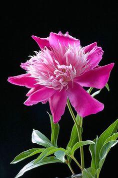 Peony, pink, flower, macro - ID: 4248102 © Amalia Elena Veralli