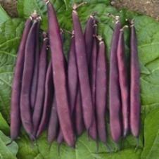 Bean, Bush, Purple Dove Snap